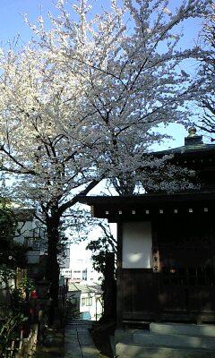 桜 あかるい ありがとう