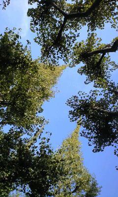 イチョウ並木をお散歩