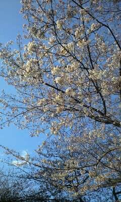 青空に桜が綺麗