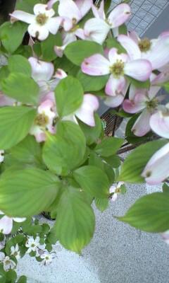 花水木満開の季節