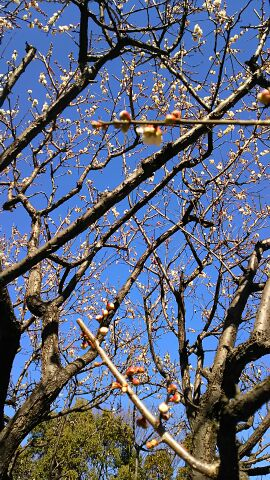 梅は咲いたかなの散歩